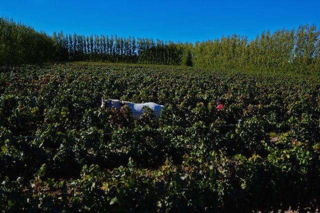 Farming methods are organic and biodynamic at Bodega Chacra.