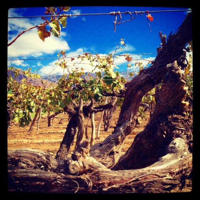Wrinkly aged vines at Bodega El Esteco, Cafayate, Salta.