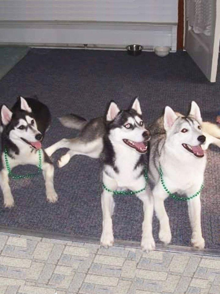 huskey dogs
