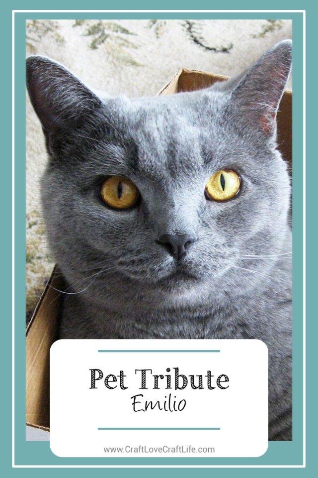 blue scottish fold cat