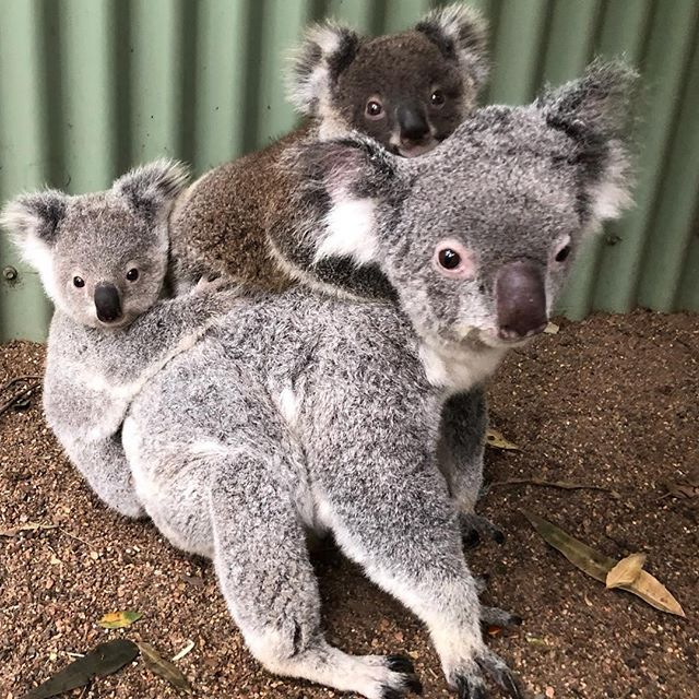 Koala Family on the move Koala Family on the move
