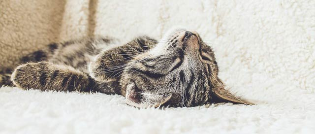 Chat tigré en train de dormir mieux sur un canapé blanc