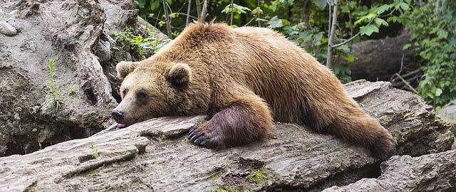 Ours en train de s'endormir rapidement sur une souche d'arbre, une position parfaite pour dormir mieux.