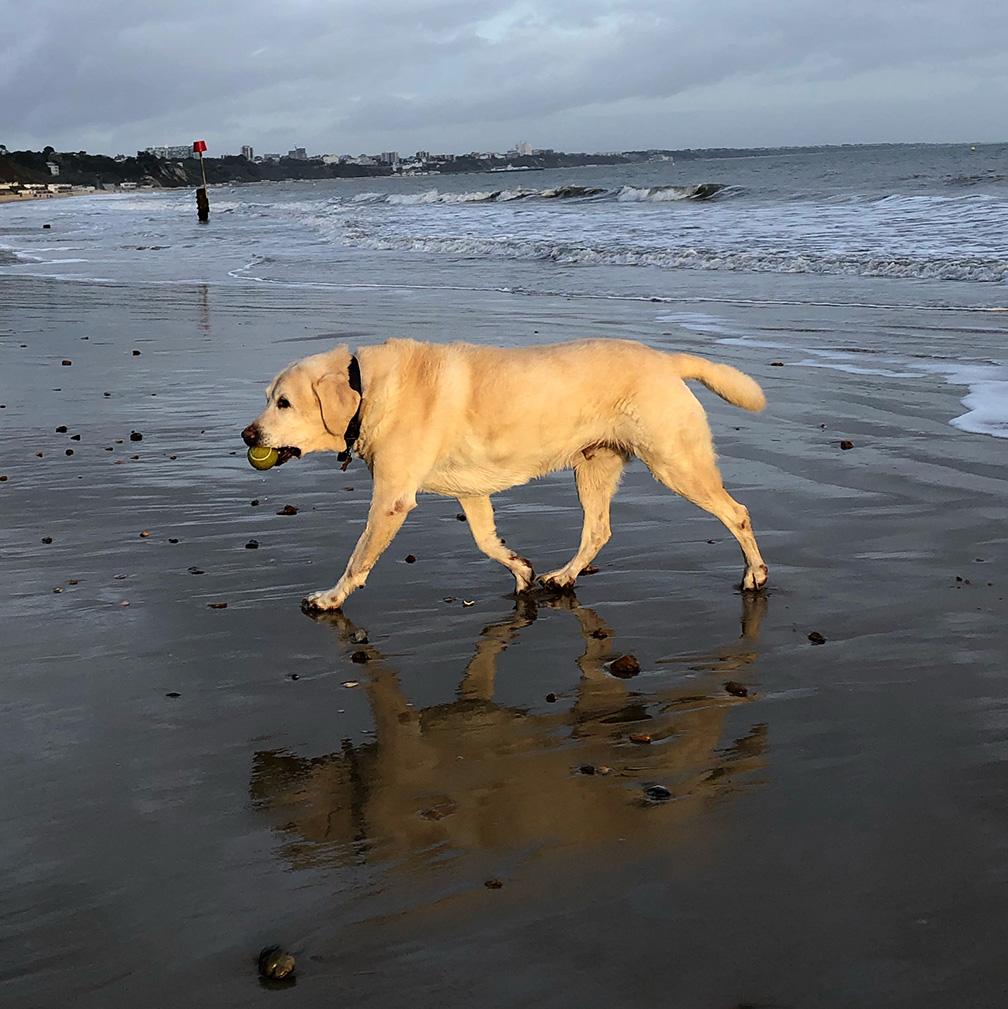 photo of evening sunlight on yellow labrador walking on beach