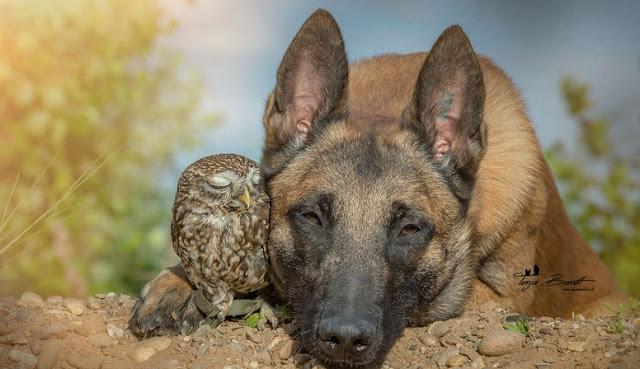 Owl Belgian Shepherd - Tiny Owl Adopts Belgian Shepherd