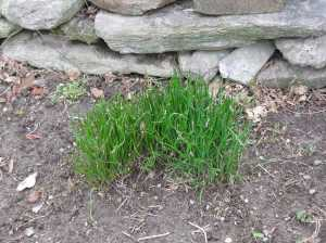 My chives on April 6