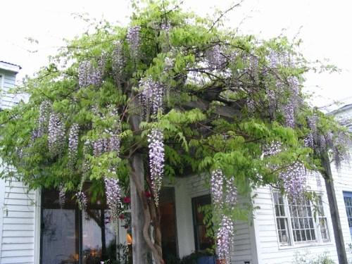 My wisteria 2006