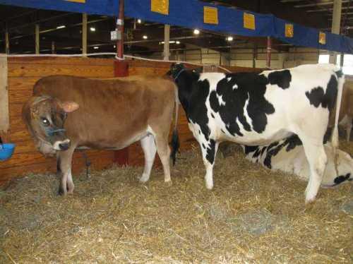 UConn Dairy Club exhibit