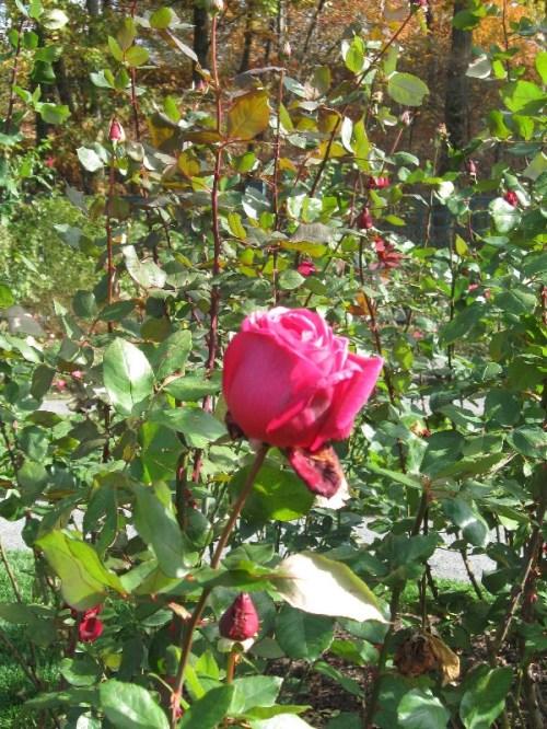 Peggy Rockefeller hybrid tea rose