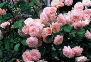 david austin english climbing roses cottage garden living. Black Bedroom Furniture Sets. Home Design Ideas