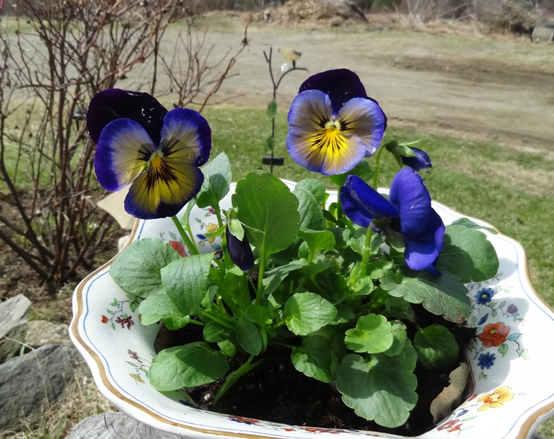 Pansies in a bowl