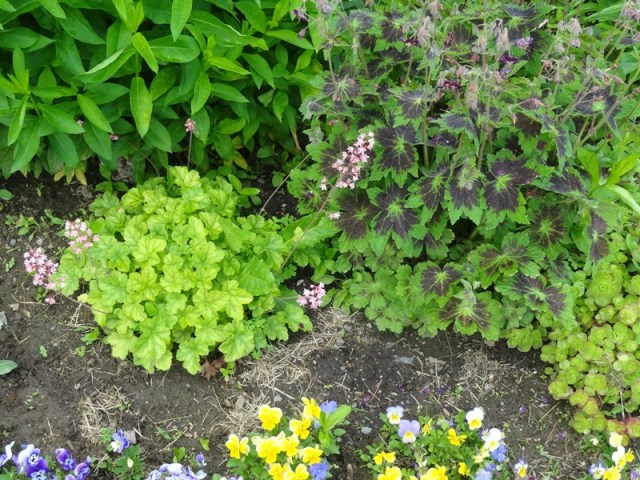 6-5 heuchera, volunteer pansies