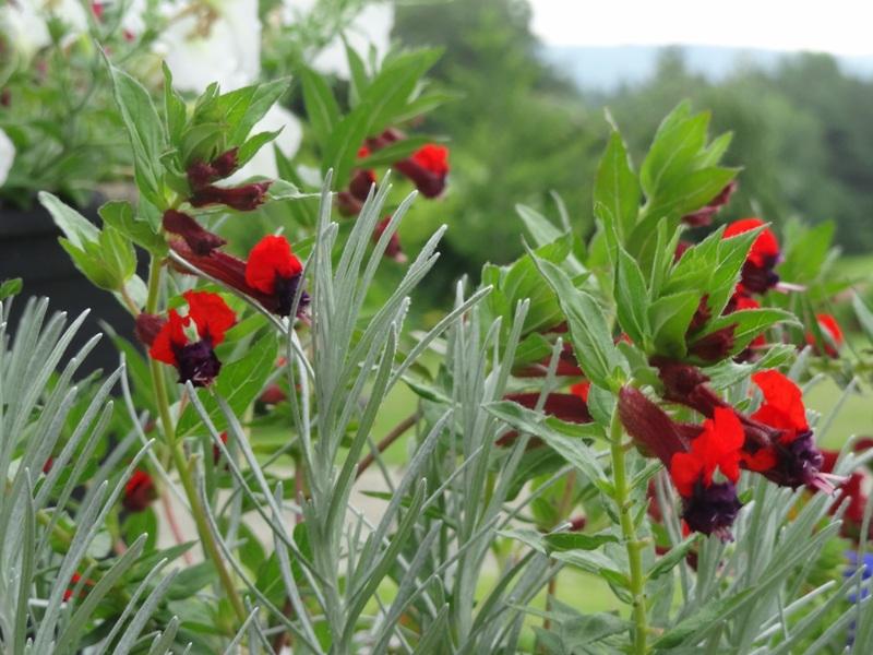 Cuphea llavera