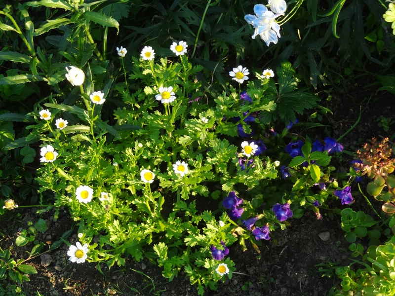Torenia and daisies