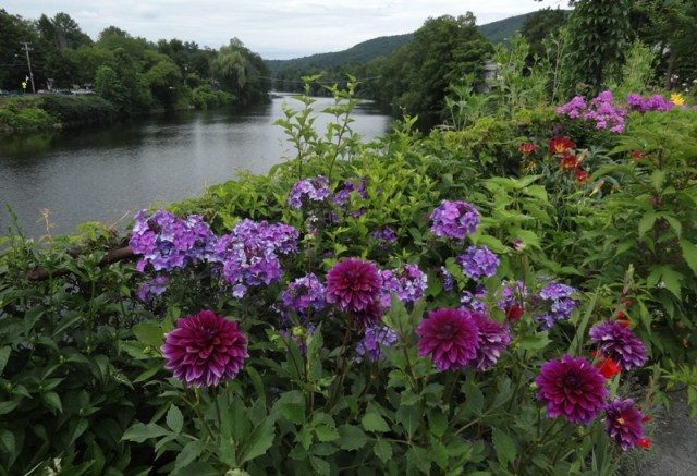 Dahlias and Phlox and the Deerfield River