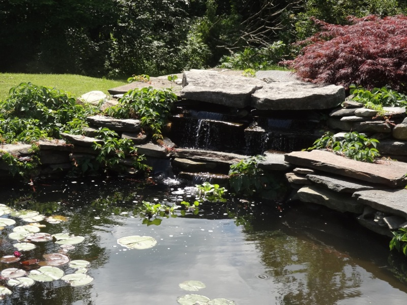 Waterlily pond closeup