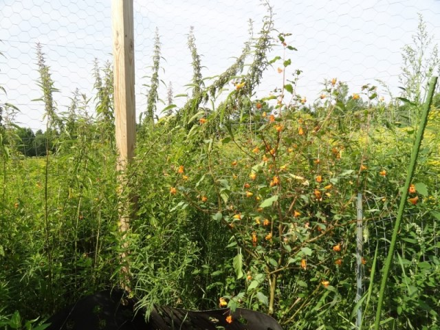 nettles and jewelweed