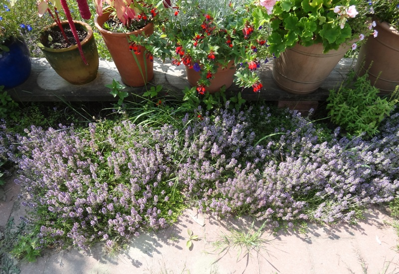 Common thyme on the piazza