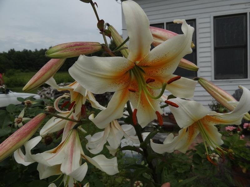 Lilium white henryii