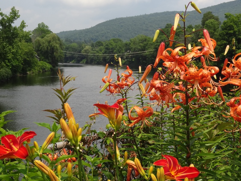 Lilies August 1