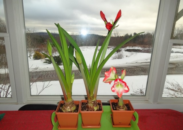 Amaryllis on January 19