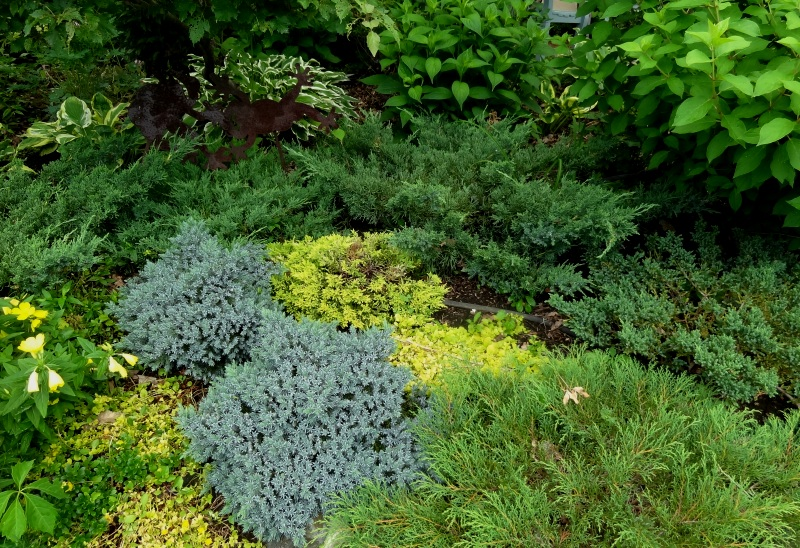 lowgrowing conifer groundcovers