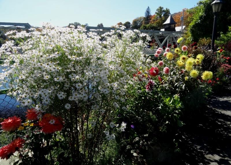 Boltonia on Bridge of Flowers