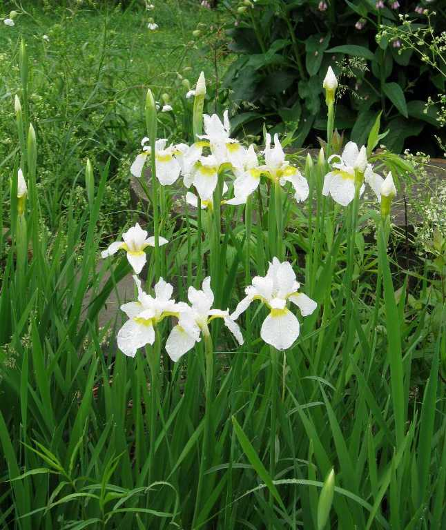 White Siberian irises