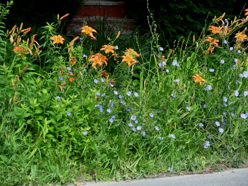 common daylily and chicory