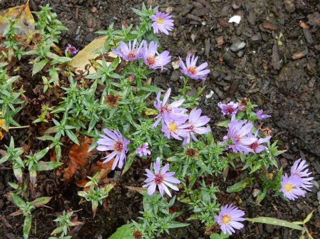 Woods blue aster