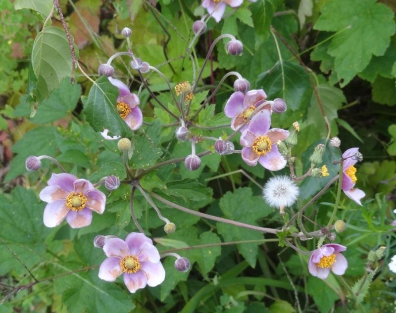 Japandese anemone 'Robustissima'