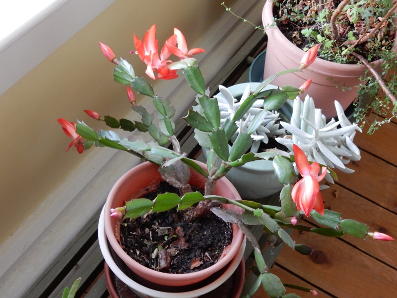 Thanksgiving cactus