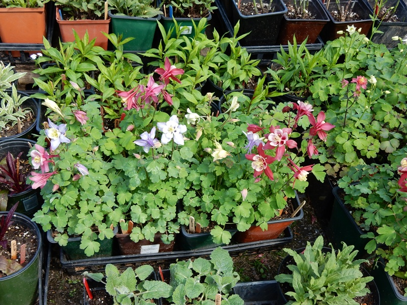Columbines for the Plant Sale