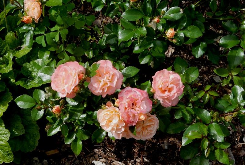 Peach Drift Rose