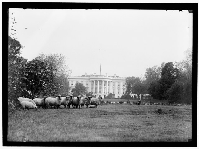 President Wilson had sheep on the White House Lawn when there was a shortage of men to mow
