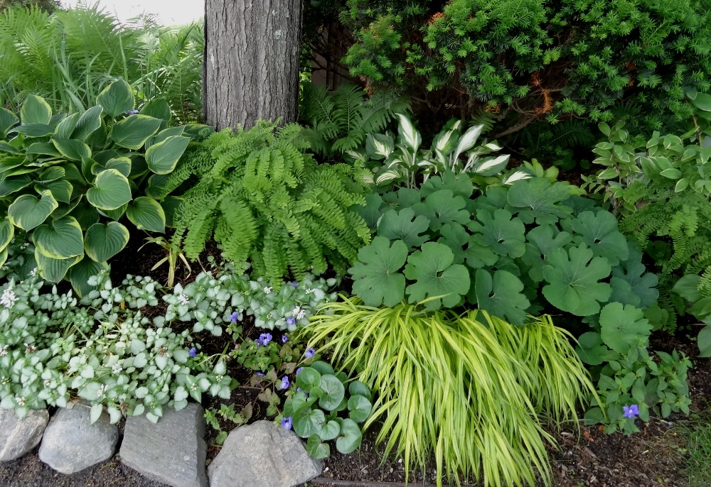 Vignette of mixed green at the Bridge of Flowers, hostas, lamium, hakone grass and bloodroot foliage