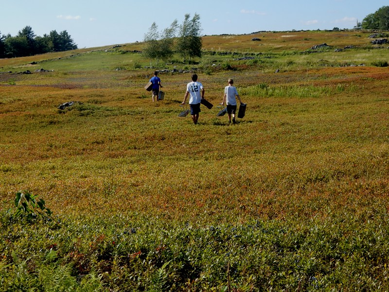 Blueberry pickers at the Benson Place in Heath, MA