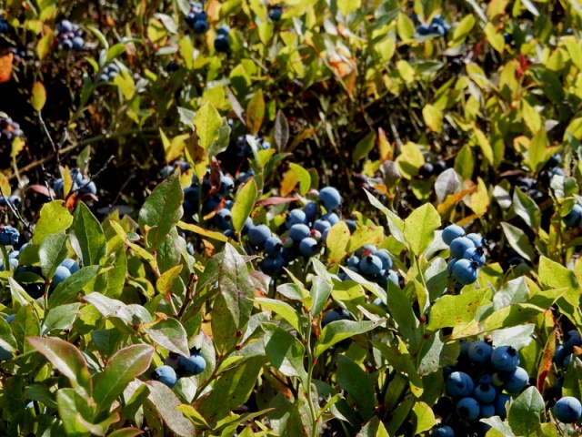 Lowbush blueberries at the Benson Place in Heath, MA