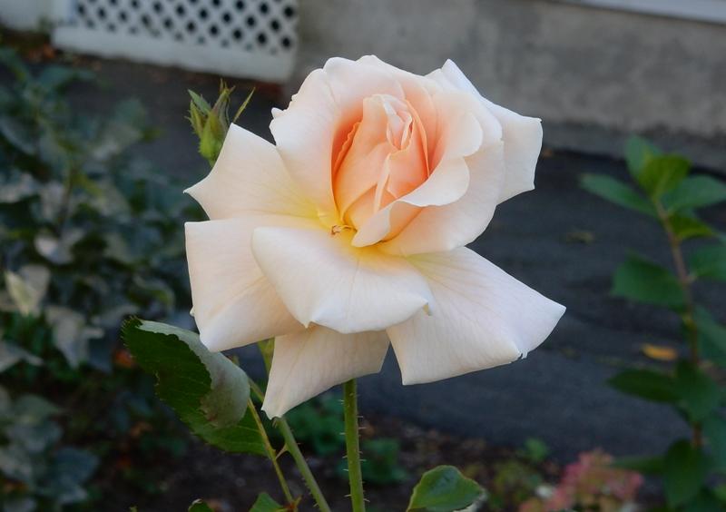 Lyon's Fairy Tale - Kordes rose