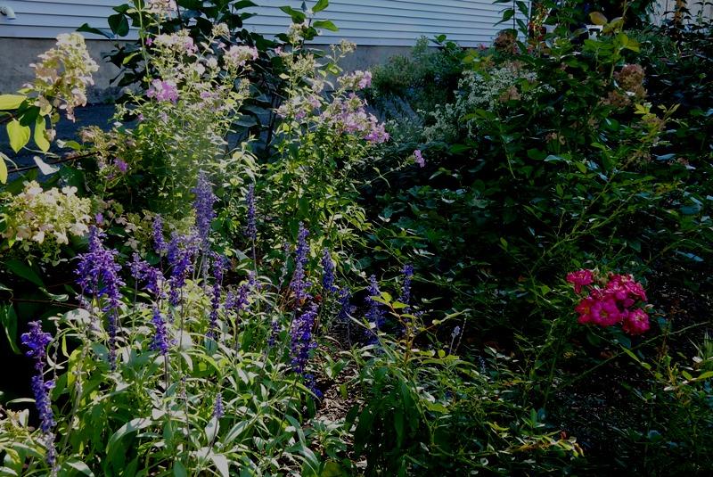 A bit of an annual salvia, Blue Paradise phlox and Purple Rain rose