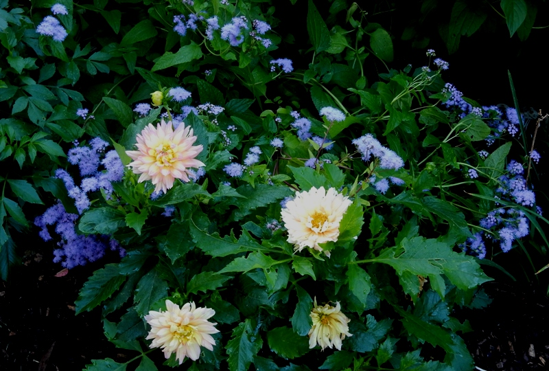 Dahlias and perennial ageratum