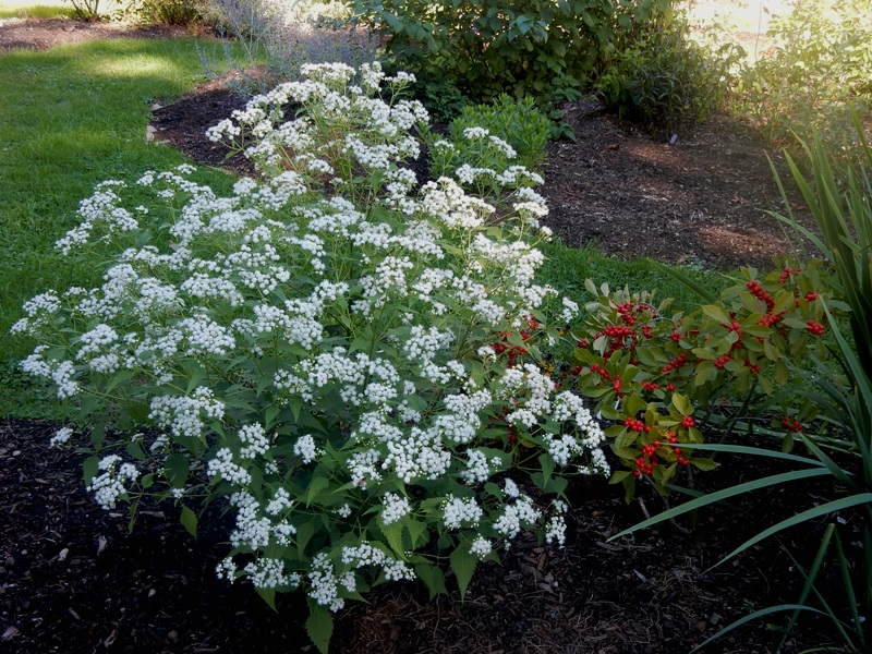 Snakeroot and  winterberry