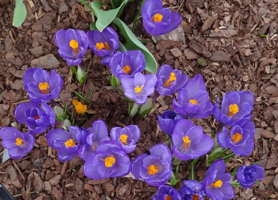 Earliest blooming spring bulbs earliest blooming spring bulbs crocus on the bridge of flowers mid april mightylinksfo