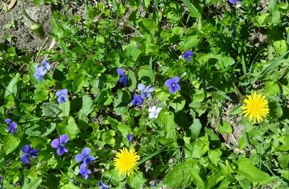 Dandelions and  violets