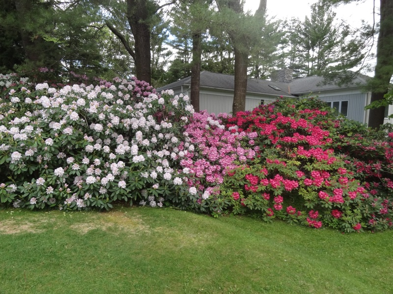 A section of John Valigorsky's rhodies