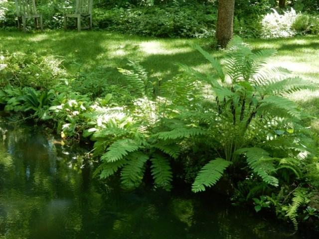 Pondside primroses and ferns