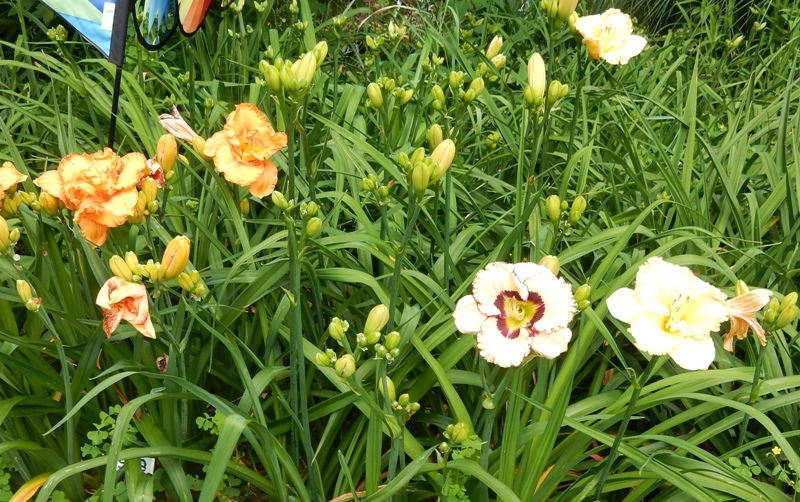 Daylily Festival on Pickett Lane