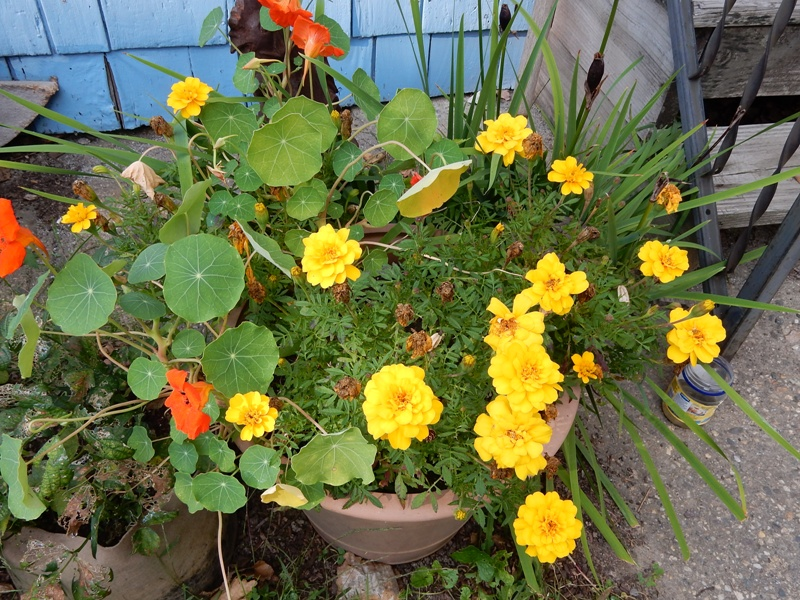 Marigolds and nasturtiums