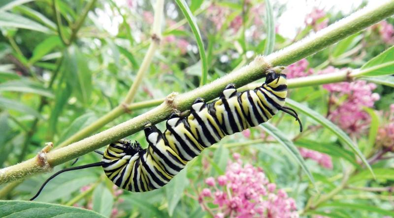 - MONARCH caterpillar 2