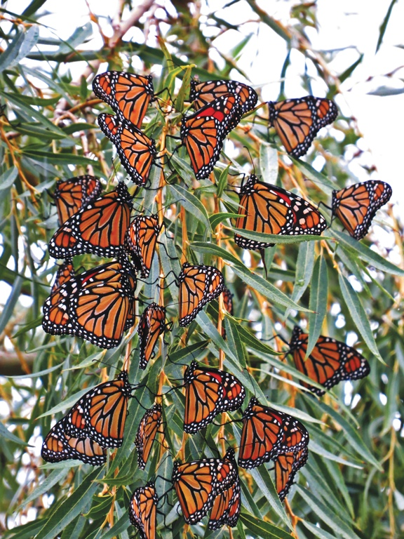 Monarchs in Mexican sanctuary